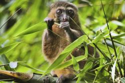 This 2019 photo provided by Noel Rowe and Centre ValBio shows a golden bamboo lemur in Madagascar