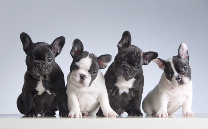 Look Out, Labs: French Bulldogs Now 2nd Most Popular U.S. Dog
